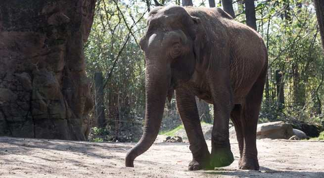We Nemen Helaas Afscheid Van Olifant Rekka Burgers Zoo In Arnhem
