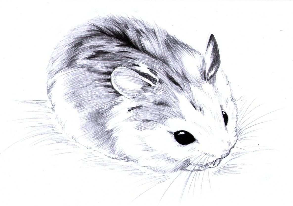 Roborovski Drawings Just Too Cute By Aconite Pawlove Traditional