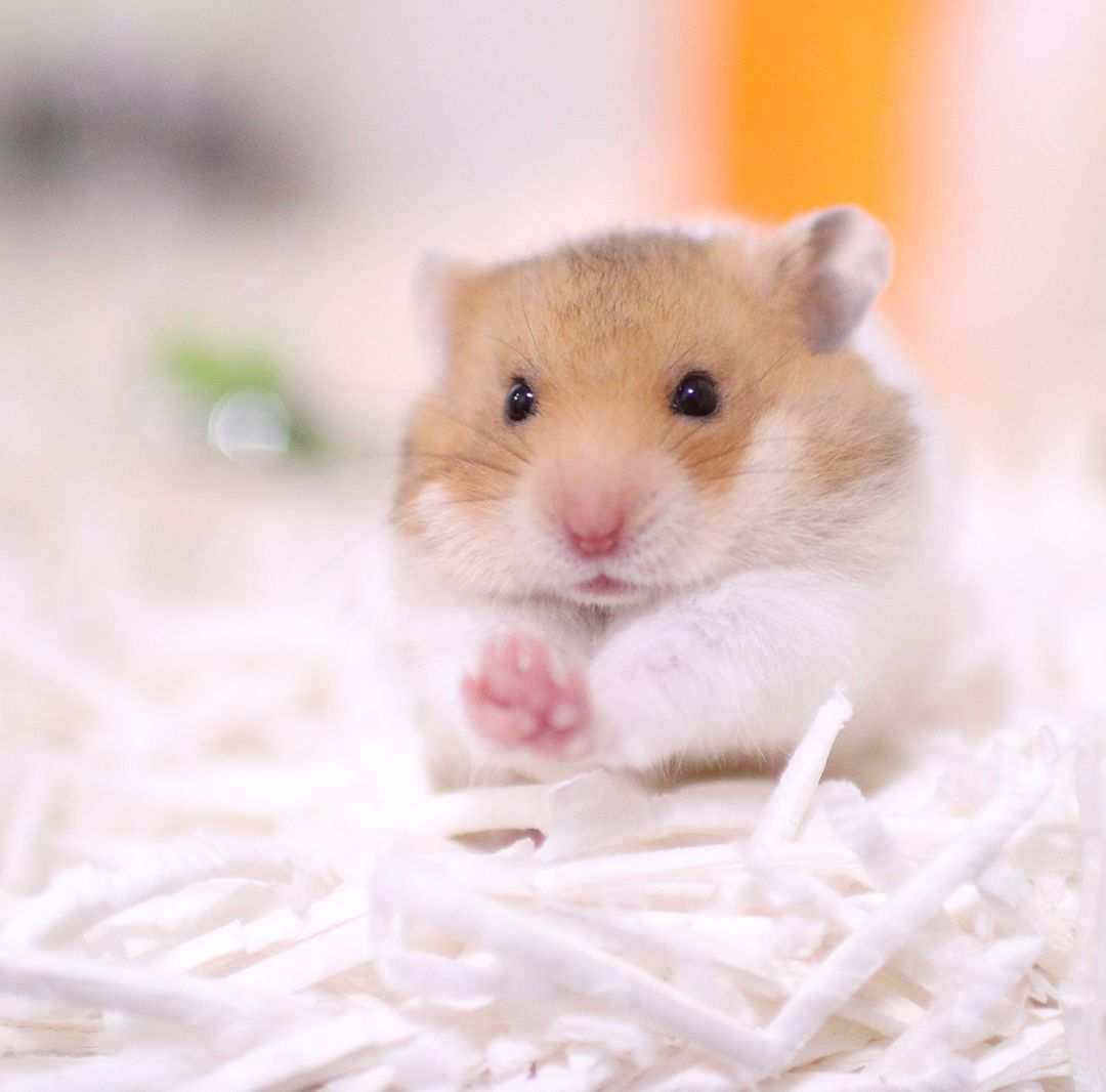 Most Popular Hamster Breeds With Images Cute Hamsters Cute