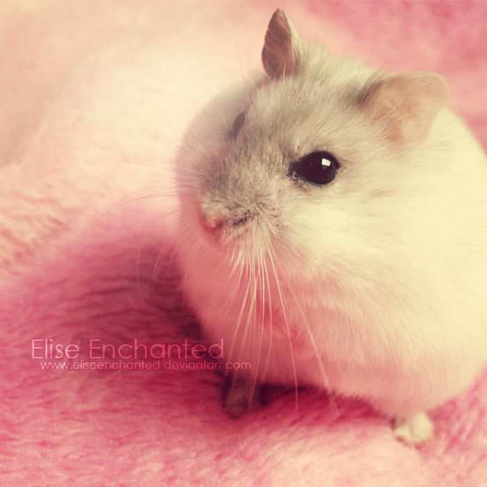 Can Hamsters Live Together Syrian Hamsters Are Solitary And Must