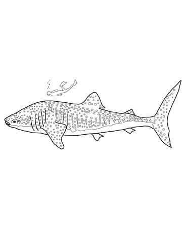 Walvishaai Kleurplaat Walvishaaien Kleurplaten Haai
