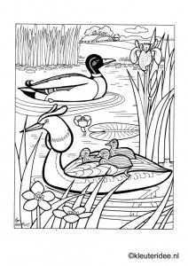 Kleurplaat Eend Met Kuikentjes 2 Kleuteridee Duck And Ducklings