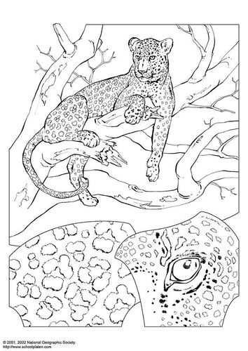 Kleurplaat Luipaard Kleurplaten Dieren Kleurplaten