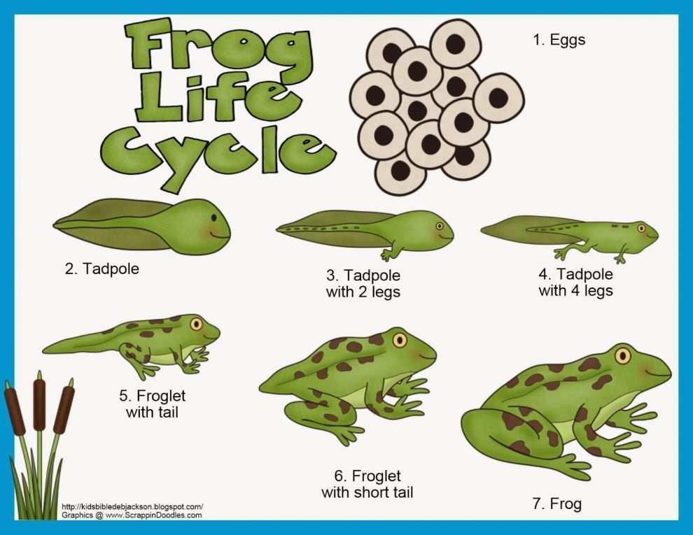 Afbeeldingsresultaat Voor Van Kikkerdril Tot Kikker Levenscyclus