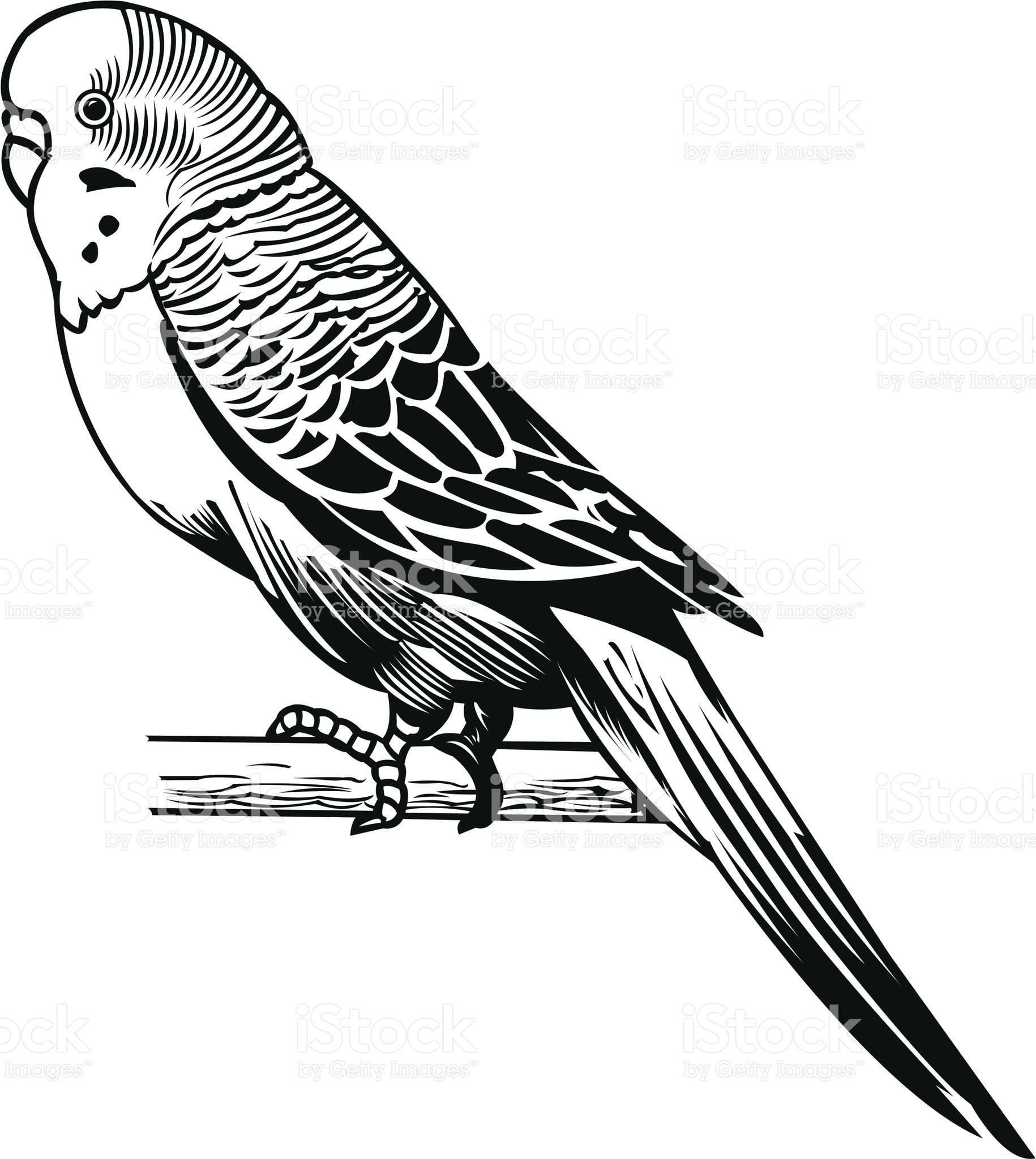 Parakeet Domestic Bird Graphic Vector Illustration Of A