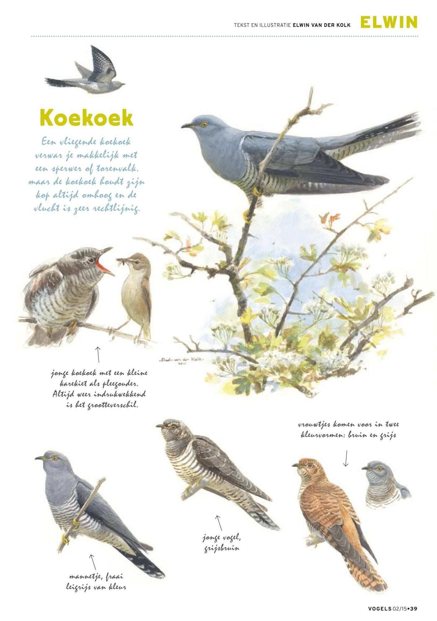 Koekoek Vogels Dieren Illustratie