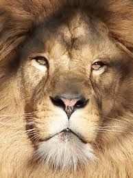Kleurplaat Leeuwenkop Google Zoeken Lion Animals Like A Boss