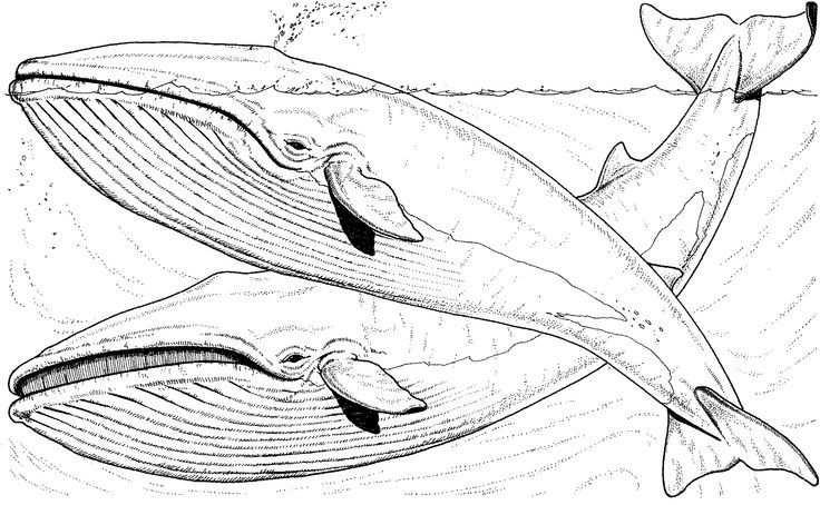 Whale Coloring Pages Free Whale Coloring Pages Iceland