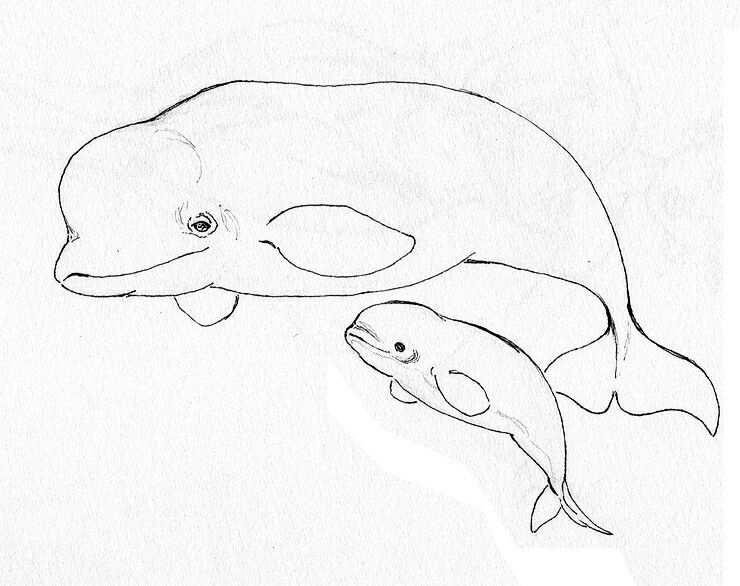 Beluga Whales Vilt Knutselen Knutselen Tekenen