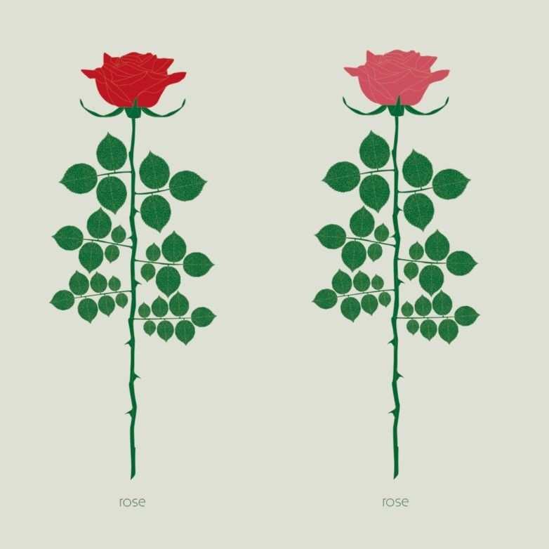 Liefde Vreugde Geluk En Genegenheid Daar Staat De Roos Voor In