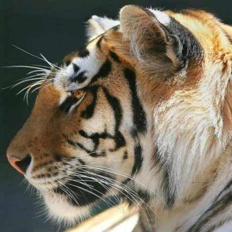 kleurplaat tijgerhaai
