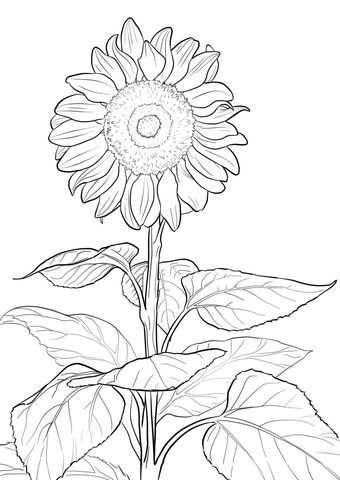 Sunflower Coloring Page Kleurplaten Bloemen Tekenen Kleurboek