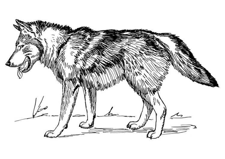Kleurplaat Wolf Met Afbeeldingen Kleurplaten Gratis
