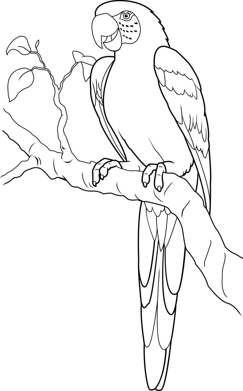 Macaw Google Search Met Afbeeldingen Vogels Tekenen