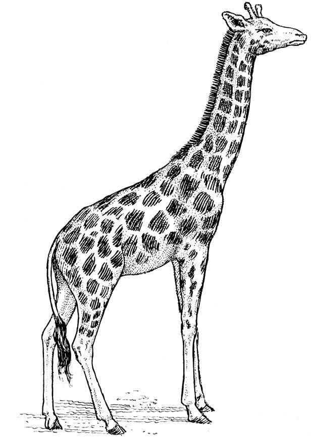 Kleurplaat Giraf Afb 16637 Giraffe Tekening Kleurplaten