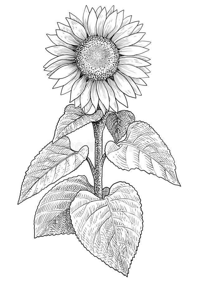 How To Draw A Sunflower Easy Step By Step Drawing Guides In 2020