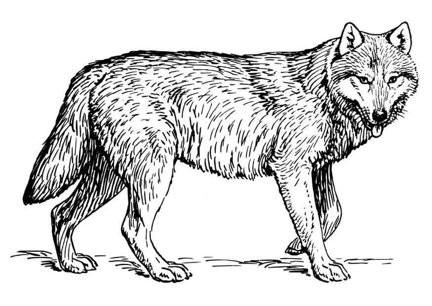 Afbeeldingsresultaat Voor Wolf Kleurplaat Voor Volwassenen