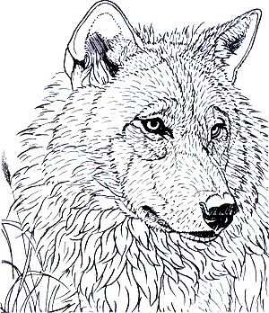 Coloring For Adults Kleuren Voor Volwassenen Wolf Head Nice